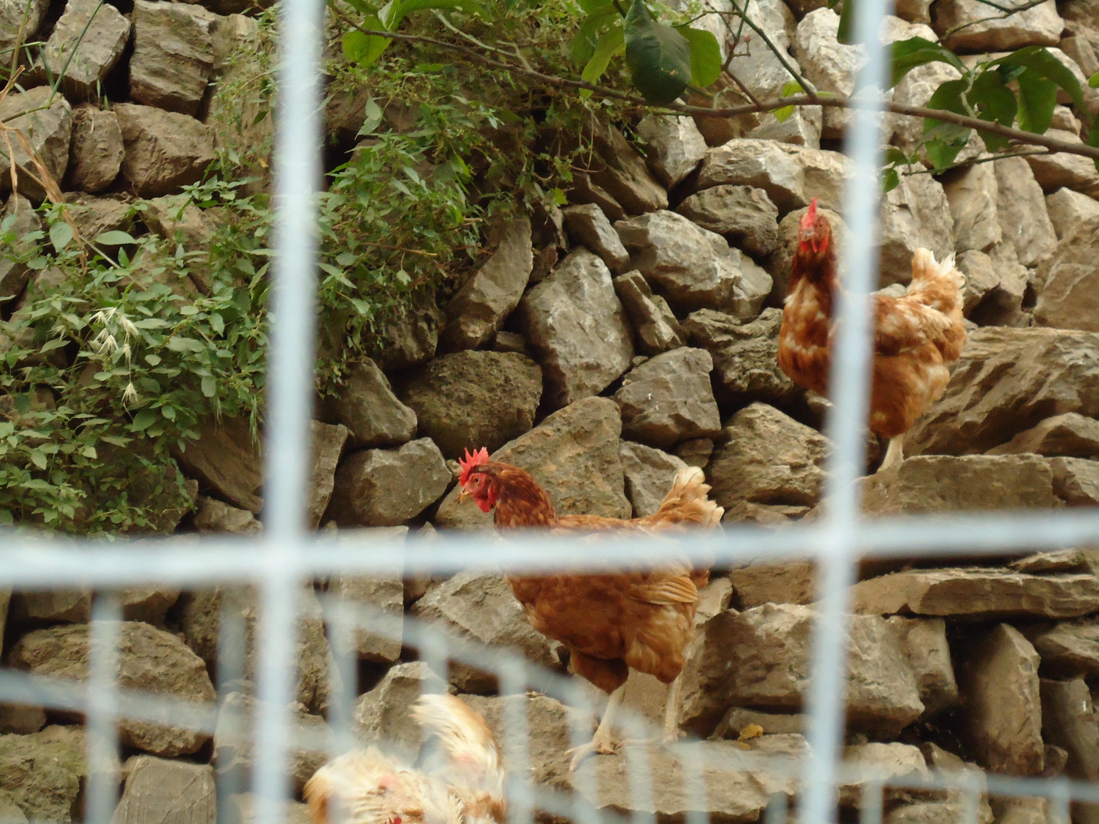 galline nell'azienda NISINATURA a Fiumedinisi
