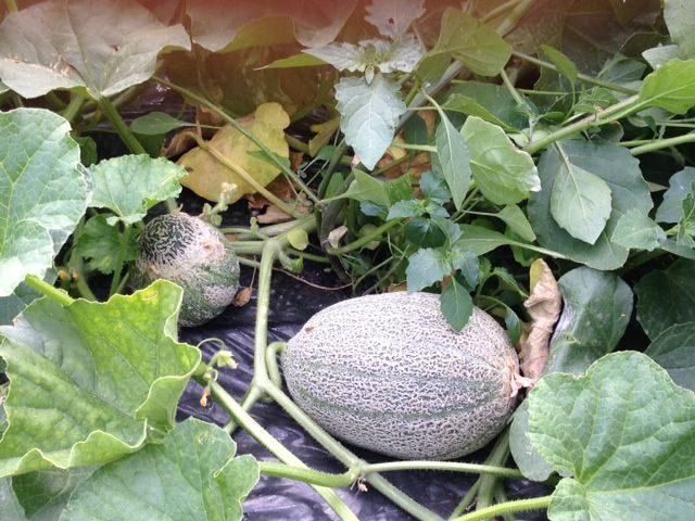 Melone … vivi l'estate con gusto ed energia !